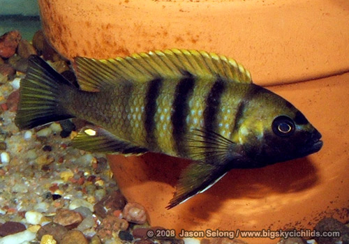 "Cynotilapia sp. ""mbweca"" -male"
