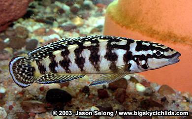 "Julidochromis transcriptus ""gombi"""