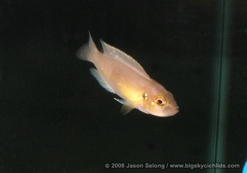 Neolamprologus Cylindricus Big Sky Cichlids -&quo...