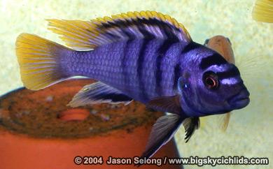 Le top 3 de vos poissons preferé Labidochromis_mbamba2