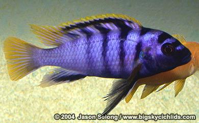 Labidochromis sp. ?mbamba? Male75 mm TL