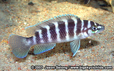 Neolamprologus Cylindricus Big Sky Cichlid...