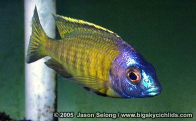 "Placidochromis sp. ""electra superior"""