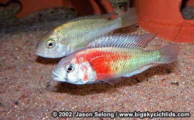 Big Sky Cichlids -Ptyochromis sp.